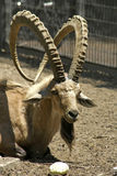 Cabra montés en parque de la reserva Imágenes de archivo libres de regalías