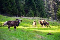 Cabra montés en un prado verde Fotografía de archivo