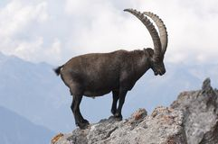 Cabra montés en una roca Imagenes de archivo
