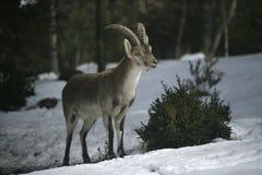 Cabra montés español o ibérico, pyrenaica del Capra Imagenes de archivo