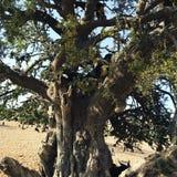 Cabra na árvore Fotografia de Stock Royalty Free