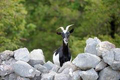 Cabra na exploração agrícola Imagem de Stock