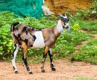 Cabra na exploração agrícola Fotografia de Stock Royalty Free