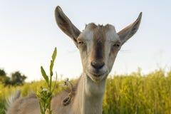 Cabra na grama Imagem de Stock