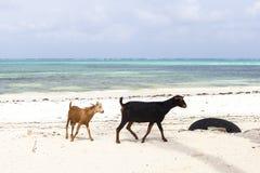 A cabra na ilha de Zanzibar fotos de stock royalty free