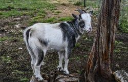 Cabra na jarda de exploração agrícola foto de stock royalty free