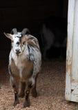 Cabra na porta de celeiro Imagem de Stock Royalty Free