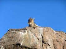 Cabra na rocha Imagem de Stock