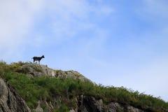 Cabra na skyline no parque da cabra selvagem, Scotland imagem de stock royalty free