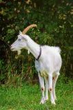 Cabra na trela Imagem de Stock