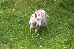 Cabra nacional blanca, alimentando en hierba fresca en ruso interior Imágenes de archivo libres de regalías