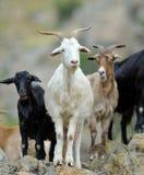 Cabra nacional en campo en primavera Fotografía de archivo libre de regalías