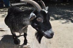 Cabra negra foto de archivo libre de regalías