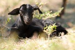 Cabra negra Fotos de archivo libres de regalías
