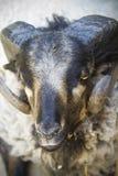 Cabra negra con los claxones grandes Imagen de archivo libre de regalías