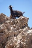 Cabra negra en una roca crete Grecia imagen de archivo
