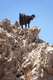 Cabra negra en una roca crete Grecia fotografía de archivo