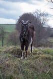 Cabra negra que pasta fotografía de archivo