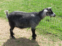 Cabra nigeriana do anão imagem de stock