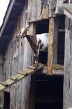 Cabra no celeiro Fotografia de Stock Royalty Free