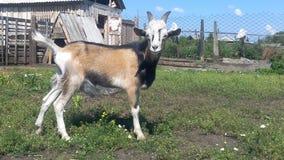 A cabra no pátio do camponês toma sol no sol Fotografia de Stock