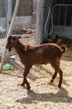 Cabra no terreiro Foto de Stock