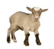 Cabra nova do pigmeu Fotografia de Stock Royalty Free