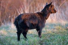 Cabra nova no prado verde fotografia de stock