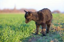 Cabra nova no prado verde fotos de stock royalty free