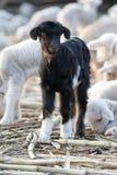 Cabra nova pequena recém-nascida. Imagens de Stock