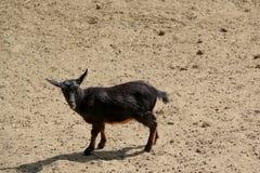 Cabra nova que anda no solo imagens de stock