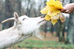 A cabra obtém o alimento Imagem de Stock