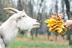 A cabra obtém o alimento Foto de Stock Royalty Free