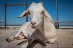 Cabra orelhuda flexível branca em uma exploração agrícola do passatempo foto de stock