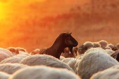 Cabra oscura con la manada de las ovejas en el amanecer Foto de archivo