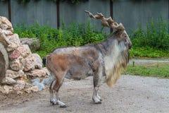 cabra Parafuso-horned Imagem de Stock Royalty Free