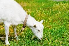 Cabra pastada en un prado y una consumición Fotografía de archivo