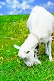 Cabra pastada en un prado y una consumición Foto de archivo