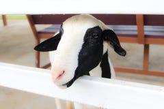 Cabra pequena na exploração agrícola imagens de stock royalty free