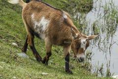 Cabra por la charca Foto de archivo