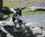 Cabra preta & branca da criança Imagens de Stock