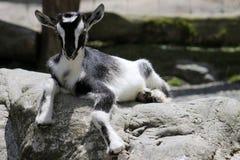 Cabra preta & branca da criança Fotografia de Stock Royalty Free