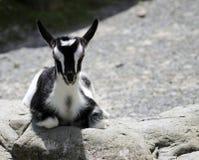 Cabra preta & branca da criança Fotos de Stock Royalty Free