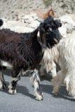 Cabra preta de kashmir da exploração agrícola indiana das montanhas Imagens de Stock Royalty Free