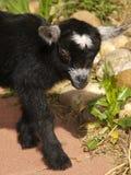 Cabra preta do pigmeu do bebê Fotos de Stock