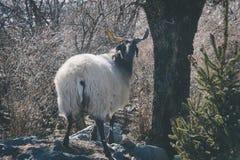 Cabra preta na floresta imagens de stock