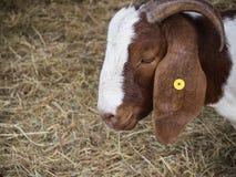 Cabra principal do close up Imagens de Stock