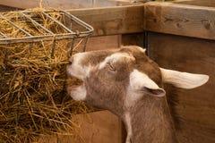 Cabra que aprecia o feno no pe Fotos de Stock Royalty Free