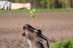 A cabra que come do fim do foco seletivo da mão acima fotografia de stock royalty free