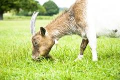 Cabra que come a grama. Imagens de Stock